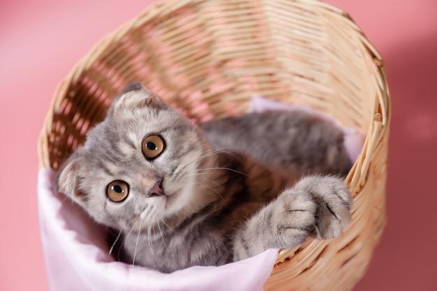 Os scottish dobram a raça do gato, envelhecem 3 meses na cesta. a pequena dobra escocesa o gatinho fofo de gengibre do gato no animal de estimação fofo está se sentindo feliz e o gato adorável e confortável. amor ao conceito de animais de estimação.