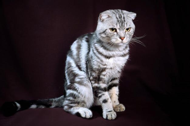 Os scottish dobram o mármore do gato na prata, retrato em um fundo escuro.