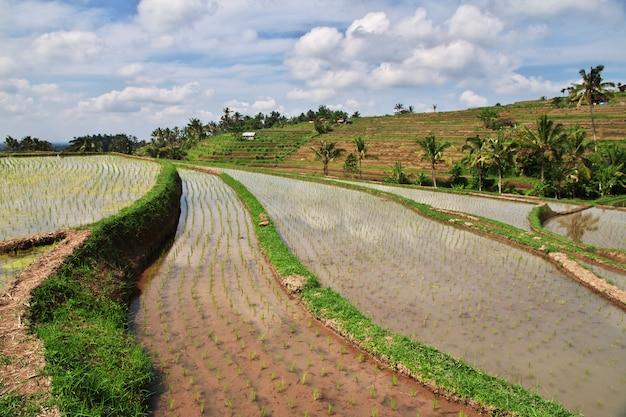 Os terraços de arroz, bali, indonésia