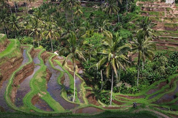 Os terraços de arroz em bali, indonésia