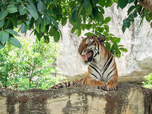 Os tigres são grandes carnívoros