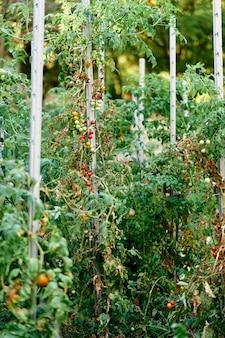Os tomates cereja crescem em grupos nas camas amarradas a suportes