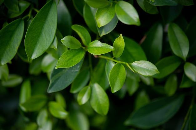 Os topos das folhas de chá verde são ricos e atraentes.