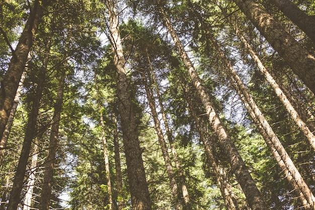 Os topos dos pinheiros contra o céu
