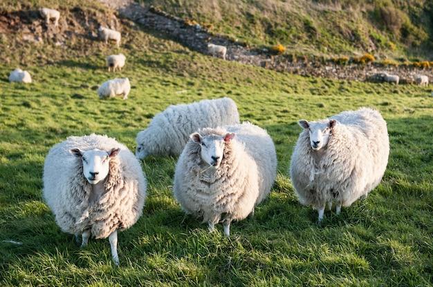 Os três carneiros brancos bonitos estão na grama verde.