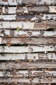 Os troncos de bétula são empilhados em uma fileira