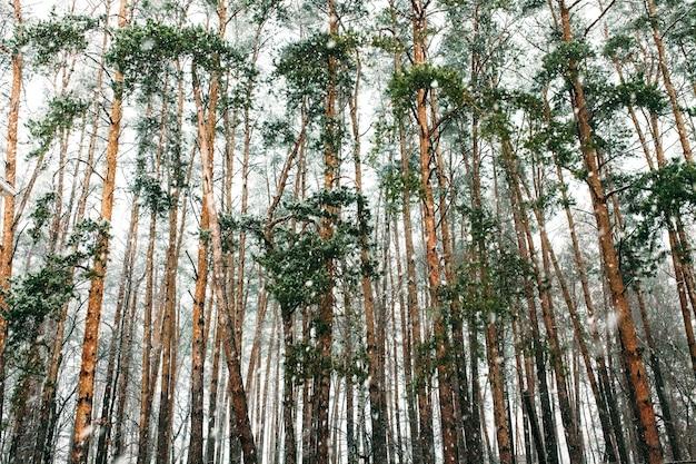 Os troncos dos pinheiros altos no inverno. na rua há neve