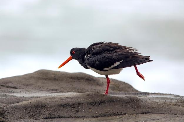 Ostraceiro variável muriwai beach, nova zelândia