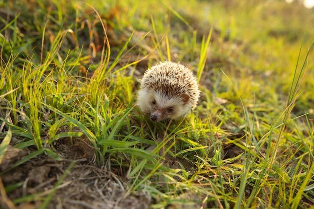Ouriço bonito engraçado no prado na natureza no fundo claro do sol