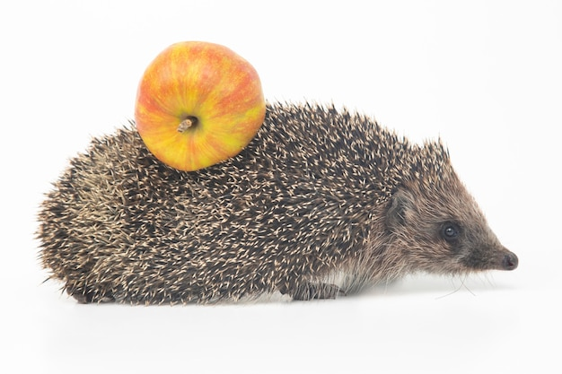Ouriço-cacheiro europeu em um fundo branco com uma maçã nas costas