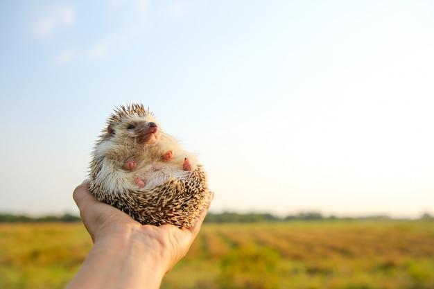 Ouriço engraçado nas mãos com fundo de natureza