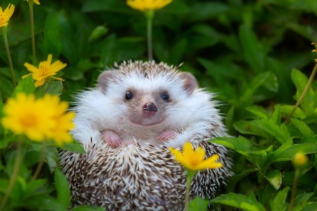 Ouriço europeu que joga no jardim de flor, cara muito bonita e duas patas dianteiras.
