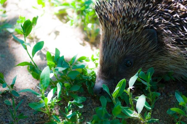 Ouriço na grama close-up animal no selvagem macro animais no retrato de ouriço da floresta com agulhas ...