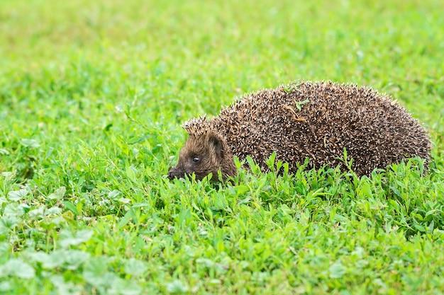 Ouriço na grama