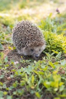 Ouriço (nome científico: erinaceus europaeus) close-up de um ouriço selvagem, nativo, europeu, de frente para o habitat natural do jardim no gramado verde. horizontal. espaço para cópia.