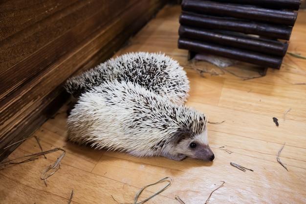 Ouriços dormir em casas no zoológico