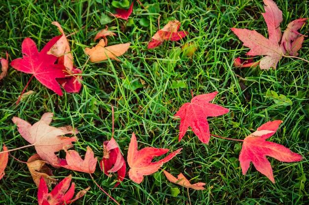 Outono bonito ao ar livre natureza de fundo de folhas de bordo vermelho e folhas secas caído para o greensward