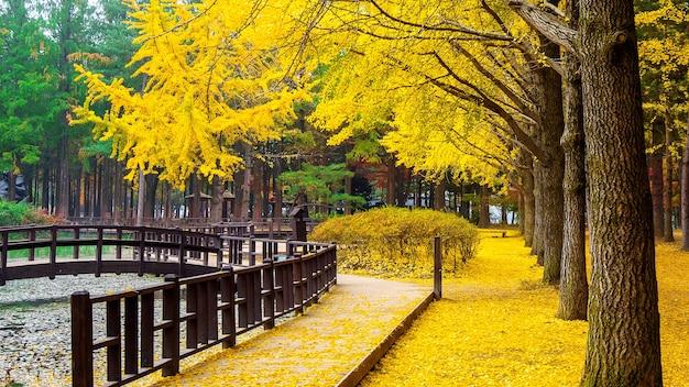 Outono com árvore ginkgo na ilha de nami, coreia.