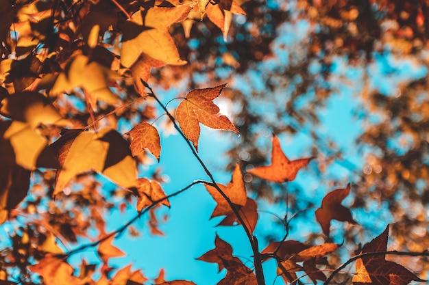 Outono com suas belas folhas coloridas de bordo.