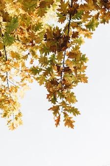 Outono, composição de outono. belas árvores com folhas de carvalho amarelo, laranja e verde
