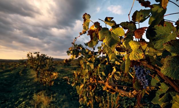 Outono, de madrugada, os raios de sol iluminam as vinhas