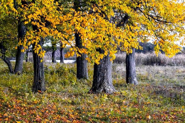 Outono dourado na floresta. árvores amarelas de outono na floresta perto do rio