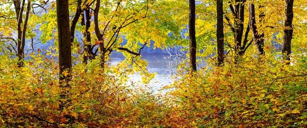 Outono dourado na floresta perto do rio. árvores amarelas de outono perto do rio em dias de sol