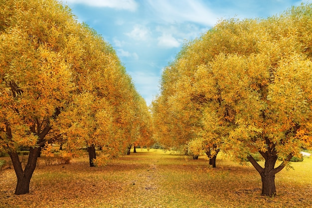Outono dourado. paisagem do outono com salgueiros de árvore.