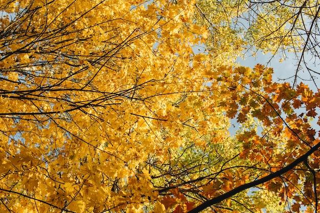Outono e composição de outono. bela paisagem com bordo amarelo e laranja, folhas de carvalho