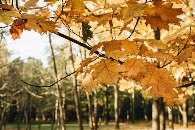Outono e composição de outono. bela paisagem com folhas de bordo amarelas e laranja