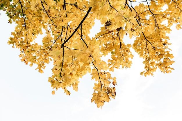 Outono e composição de outono. bela paisagem com folhas de bordo amarelas