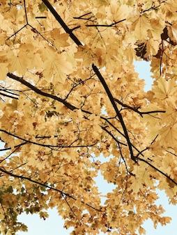 Outono e composição de outono. bela paisagem com folhas de bordo amarelo. conceito de queda. natural.