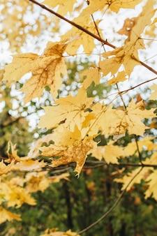 Outono e composição de outono. bela paisagem no parque com folhas de bordo amarelas