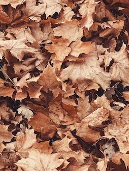 Outono e composição de outono. folhas coloridas de bordo laranja