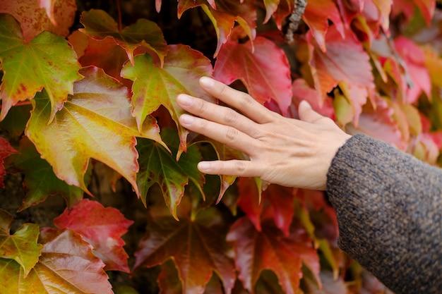 Outono e outono temporada conceito. mão da mulher toque suavemente as folhas vermelhas de outono
