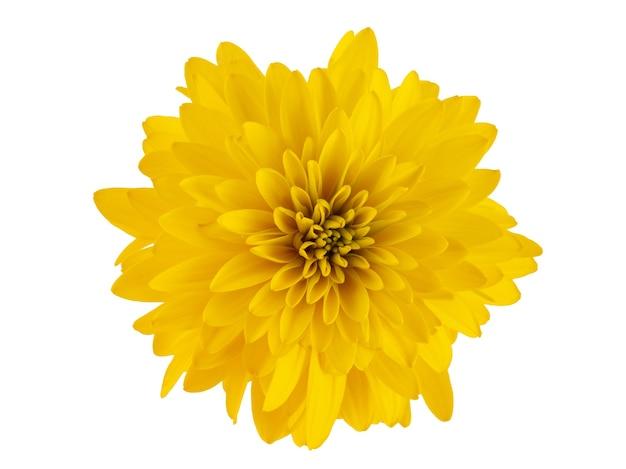 Outono flores amarelas bolas douradas isoladas em um fundo branco