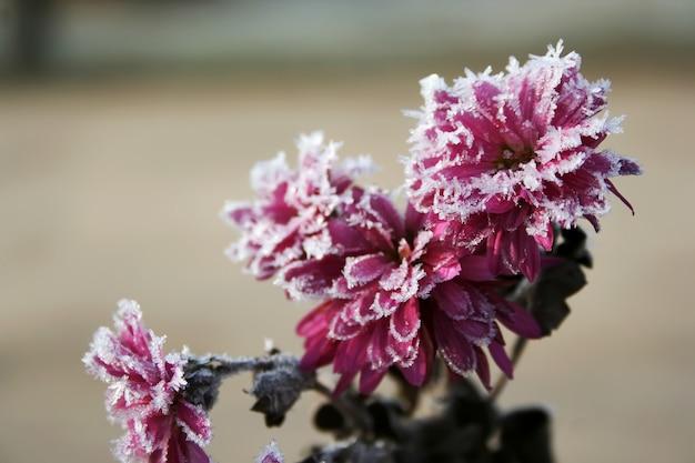 Outono flores desabrochando de cor rosa coberta de neve