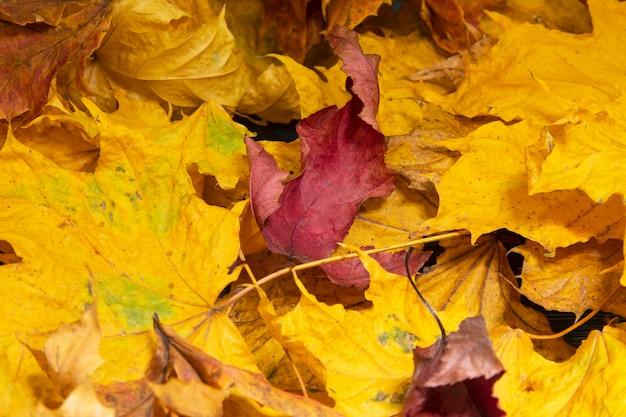 Outono. folhas de bordo multicoloridas caídas na grama