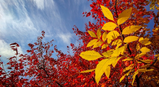 Outono folhas vermelhas e amarelas das árvores
