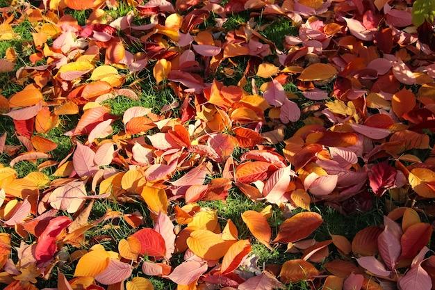 Outono fundo de folhas de faia vermelhas brilhantes com foco seletivo