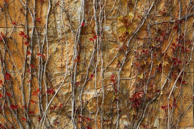 Outono fundo de textura de parede de planta de escalada