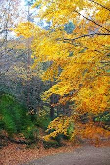 Outono outono colorido árvores de floresta de faias douradas