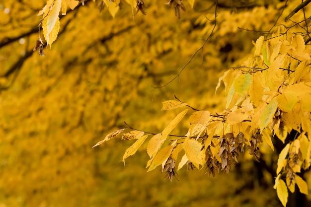 Outono, outono, folhas de fundo. um galho de árvore com folhas de outono em um fundo desfocado. paisagem na temporada de outono.