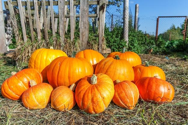 Outono outono queda vista de abóbora natural em fundo de fazenda ecológica