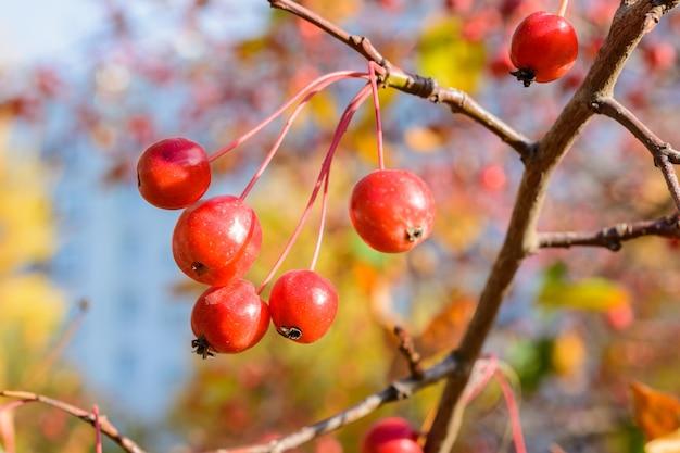 Outono pequeno close-up de maçãs silvestres. foco seletivo. paisagem de outono.