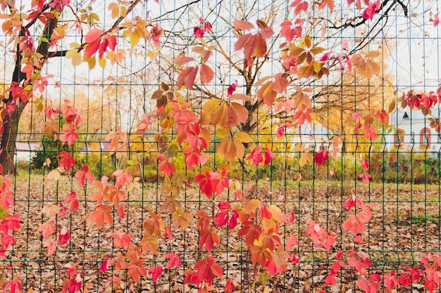 Outono ramo da árvore de bordo com vermelho folhas.