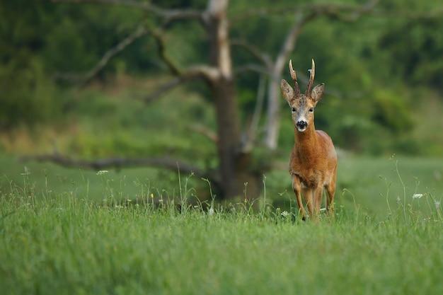 Ovas fortes buck andando no campo druing temporada de cio. capreolus capreolus.