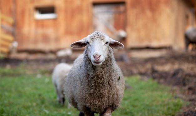 Ovelha branca e encaracolada atrás de um paddock de madeira na zona rural. ovelhas e cordeiros pastam na grama verde. criação de ovinos. serviço de limpeza.