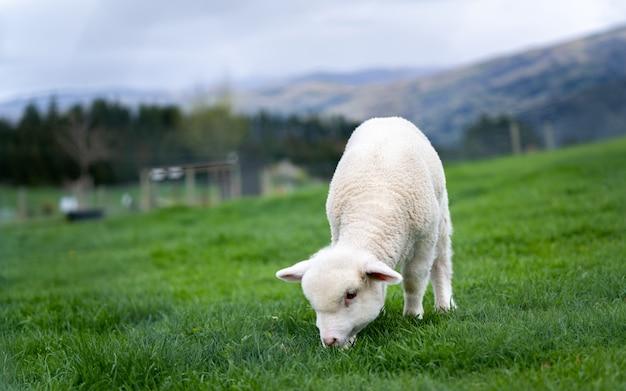 Ovelha branca no campo verde