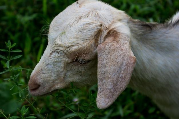Ovelha comendo grama verde